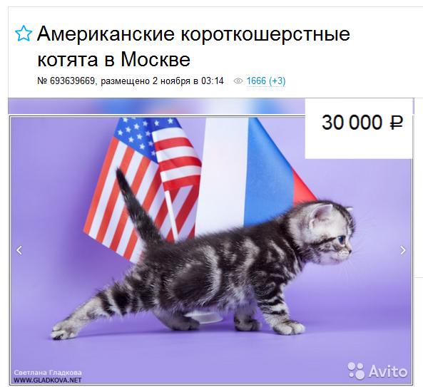 Американская короткошерстная кошка цены в Москве