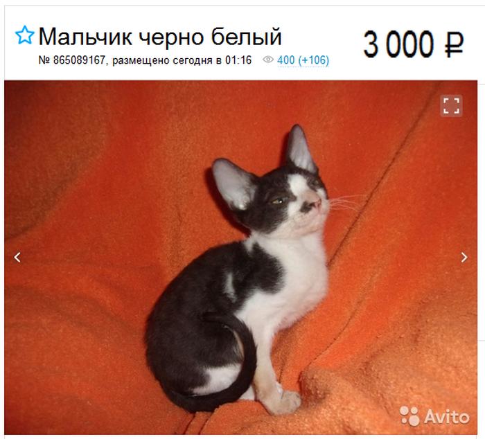 котенок Корниш-рекс в объявлении
