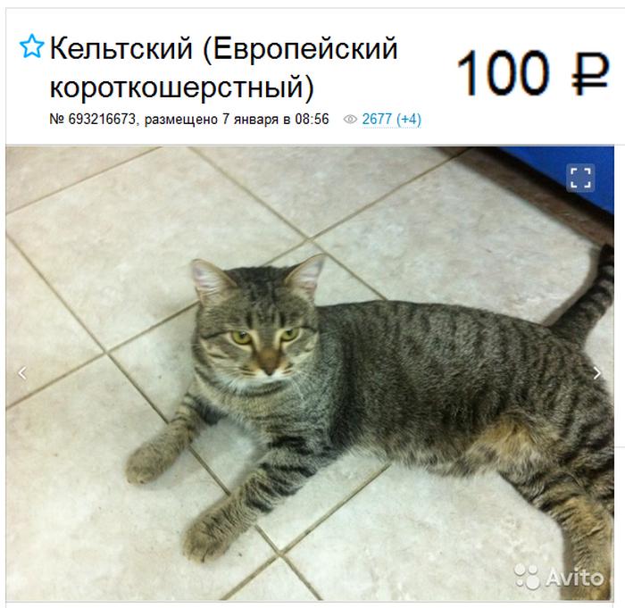 Европейская короткошёрстная кошка объявление