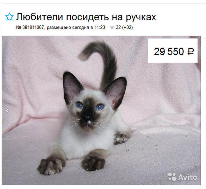 цена на котят балинез