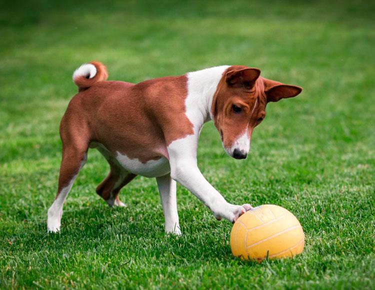 басенджи с мячиком