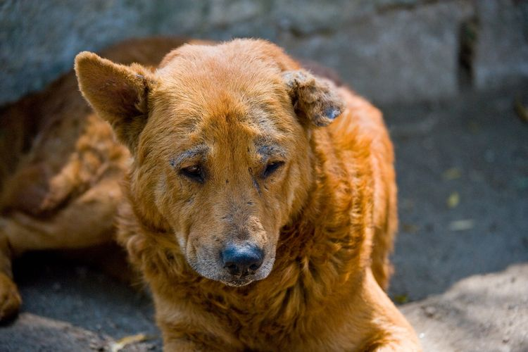 Демодекоз у собак (Локализованная форма)
