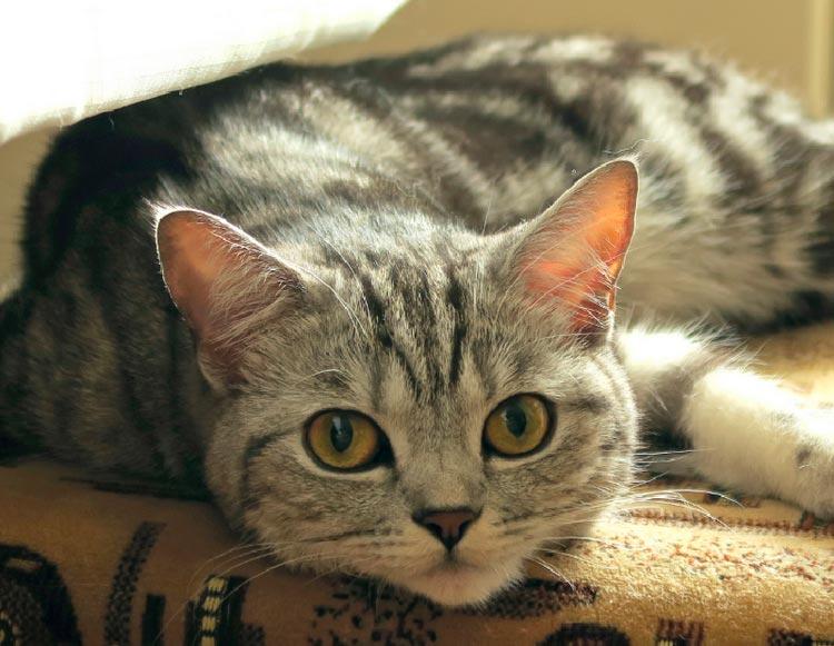 Шотландская прямойхая кошка
