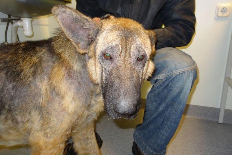 Инфекционный дерматит у собак