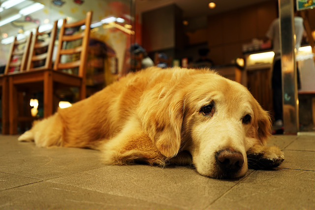 Старая и грустная собака