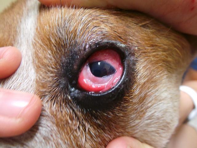 Конъюнктивит у собак: фото, симптомы и лечение