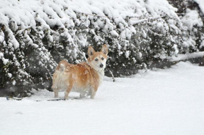 вельш-корги в снегу