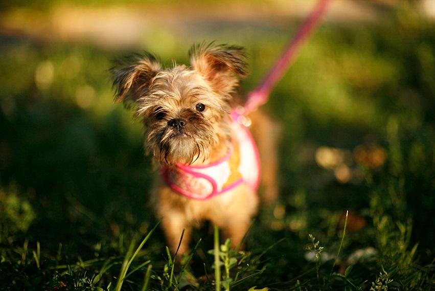 Шлейка для собак маленьких пород