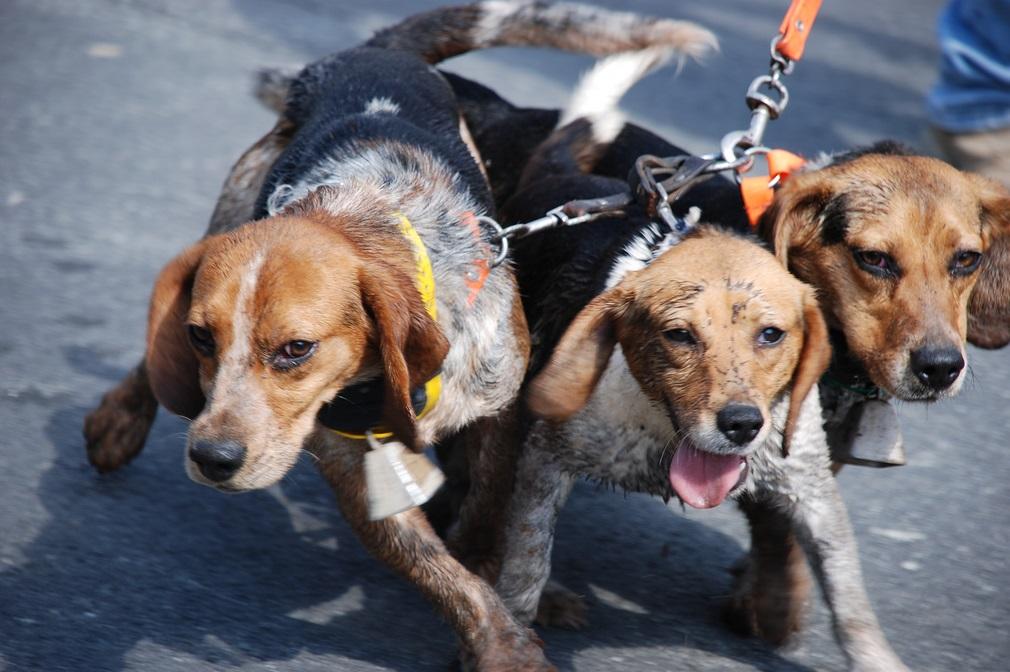 Сворка для охотничьих собак