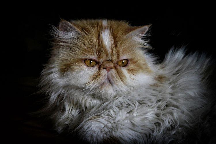 Пушистая кошка лежит