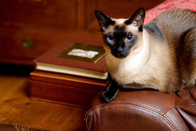 Сиамская кошка на кожаном диване