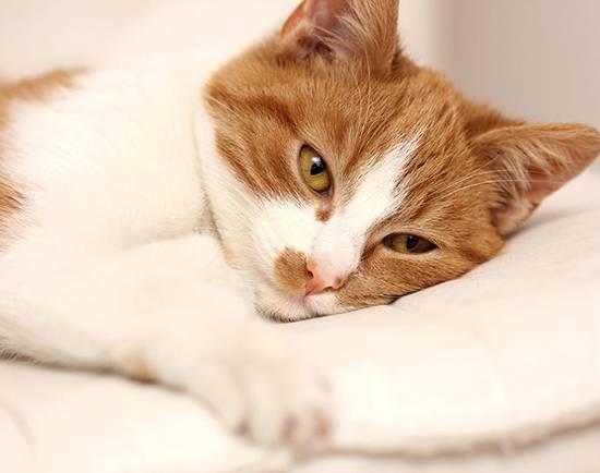 Коронавирус кошек заболевание