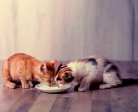 Чем кормить котенка в 2 месяца