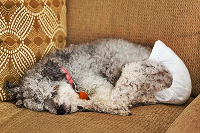 Проблемы и осложнения при течке у собак