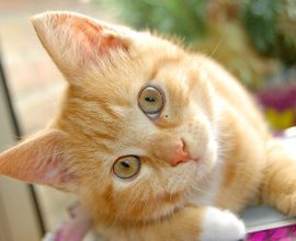 Перхоть у кошки: причины и лечение