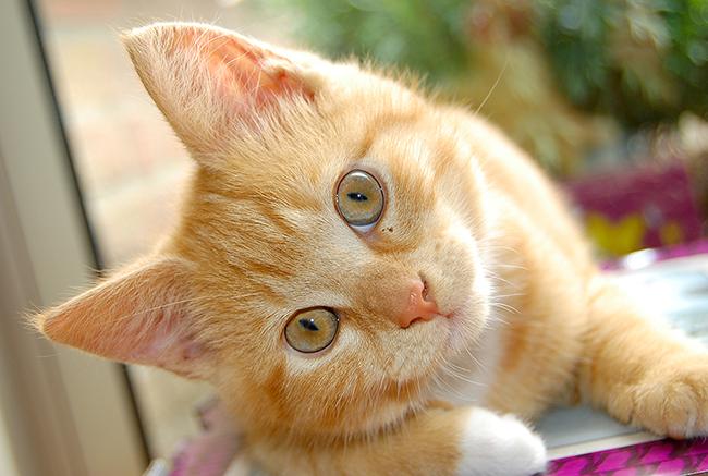 Перхоть у кошек и котов: причины и лечение
