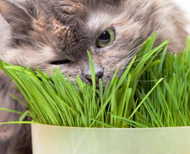 Трава для кошек зачем нужна