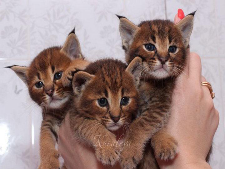Три котенка каракет