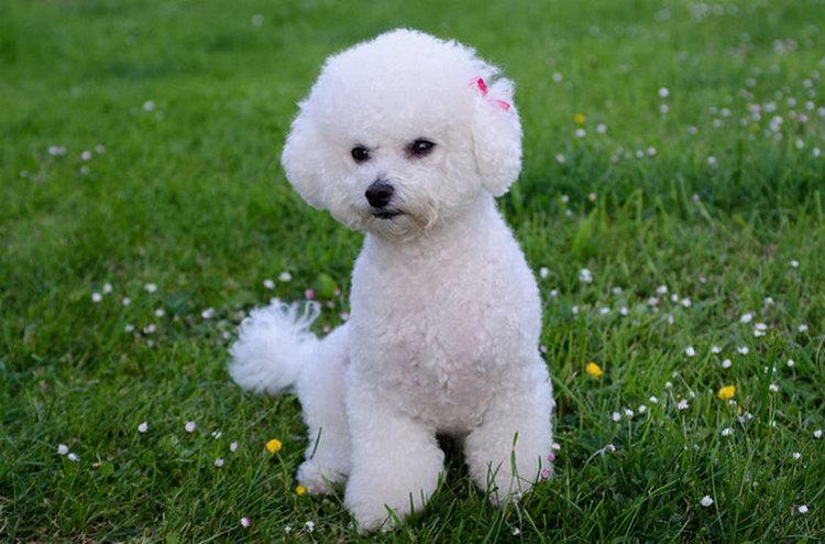 Породы собак бишон фризе фото