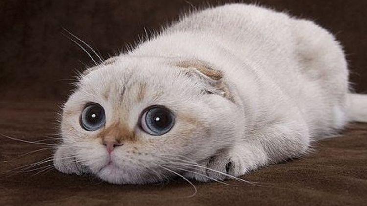 Вислоухая кошка с огромными глазами