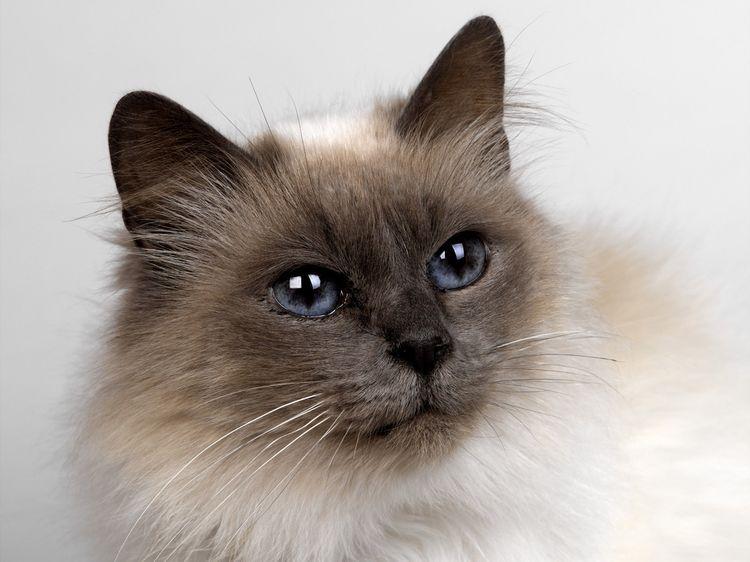 Красивый кот с голубыми глазами