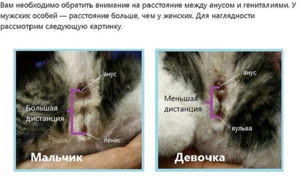 как различить кошку от кота фото