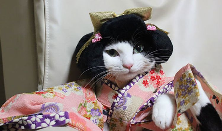 Кошка в кимоно и парике