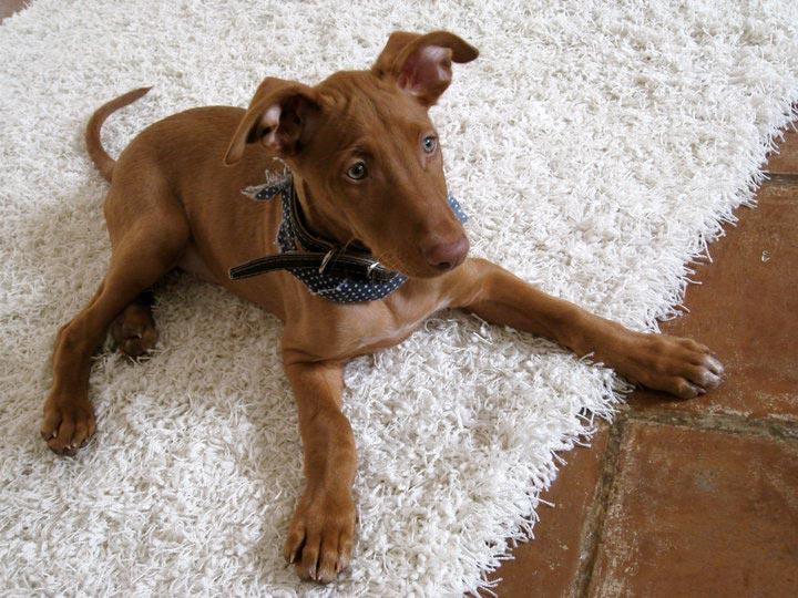фараонова собака щенок