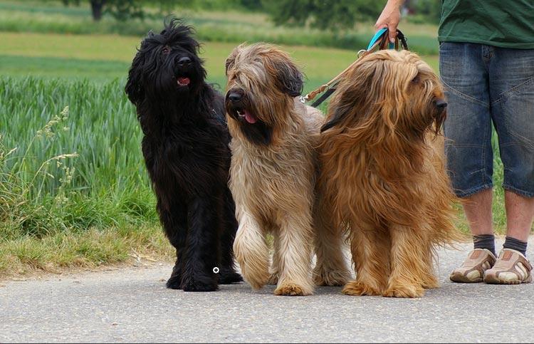три бриарские овчарки