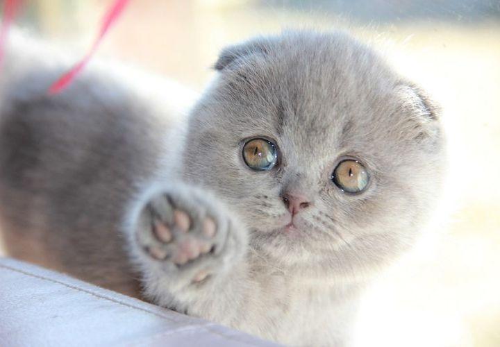 Клички для кошек британцев девочек