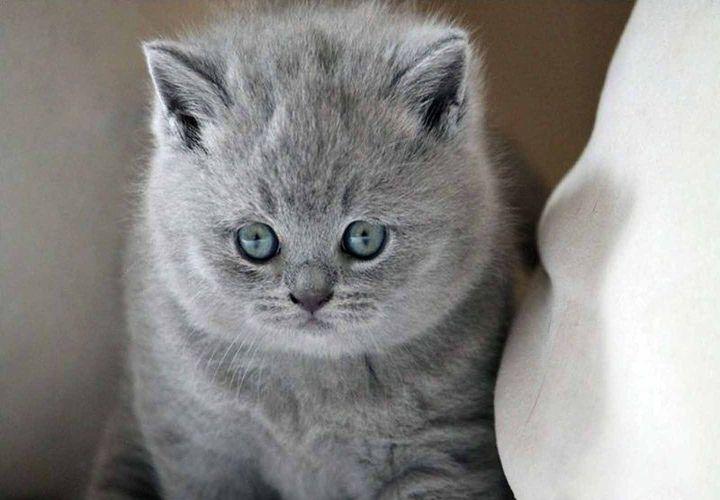 Крупный котенок британской породы