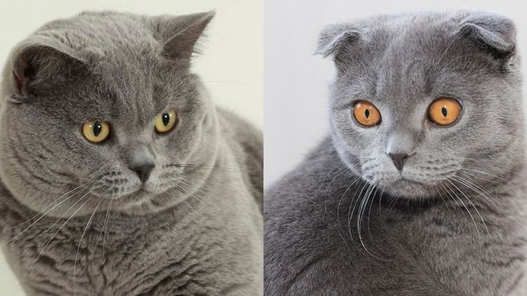 Британские шотландские коты отличие