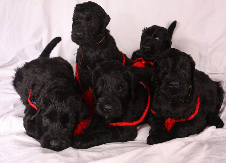 5 щенков русского черного терьера