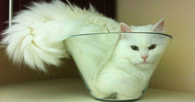 Кошка в миске