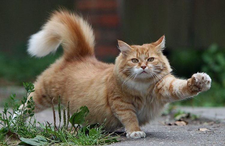 Толстый кот потягивается