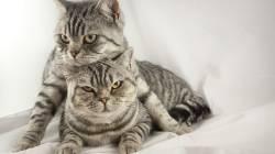 Болевой шок у котов