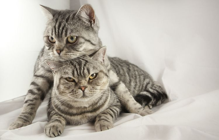 Сколько длится половой акт у кошек спаривание кошек Как происходит половой акт у кошек