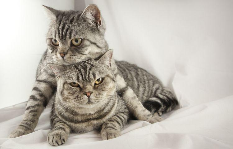 Британские кот и кошка