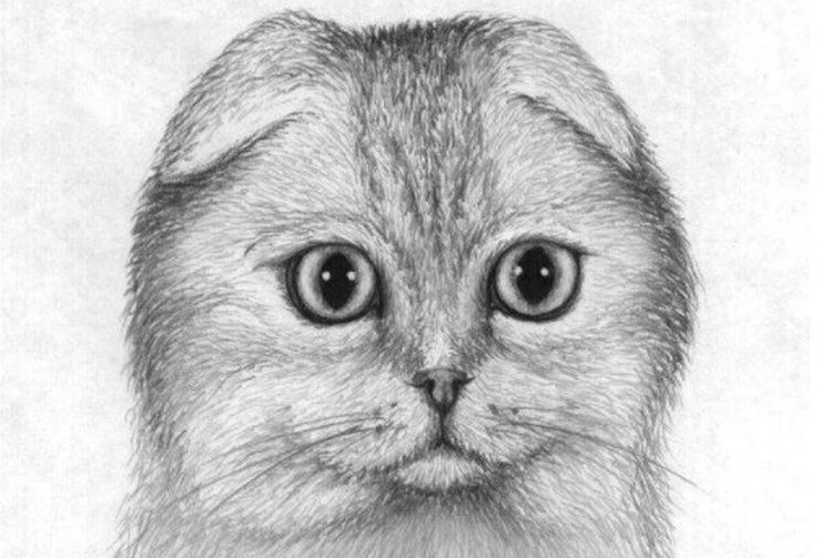 Рисунок шотландской вислоухой карандашом