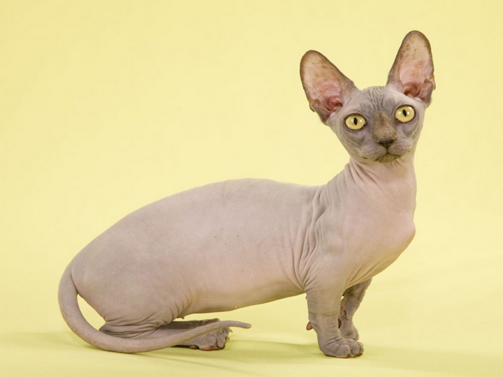 Бенгальская кошка фото цена котята бенгальской кошки