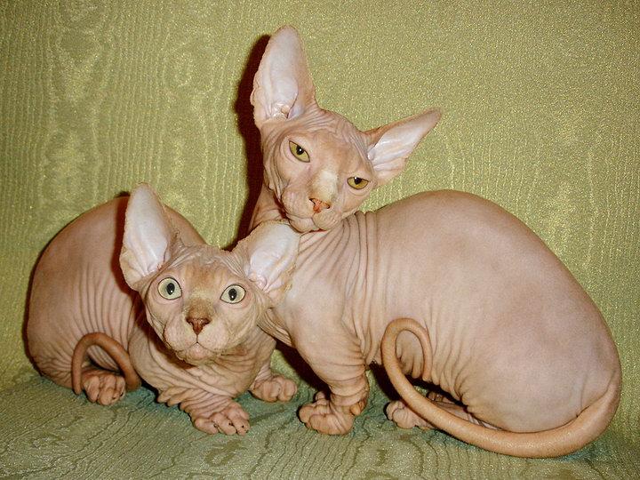 кот и кошка бамбино