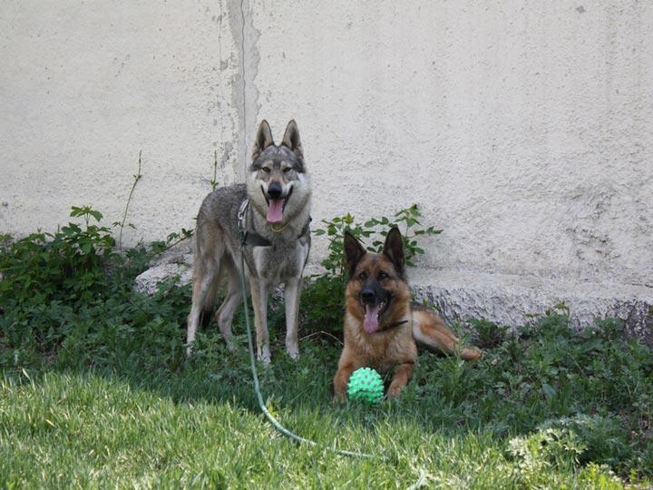 волк и овчарка