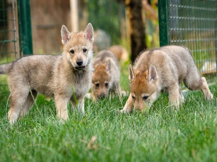 купить щенка влчака