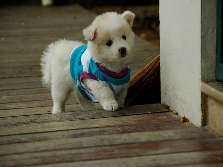 купить щенка японского шпица
