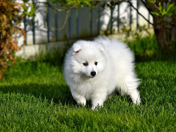 щенок японский шпиц цена
