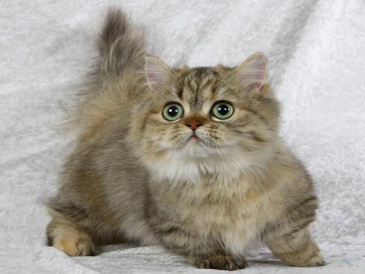 купить кошку породы Минуэт