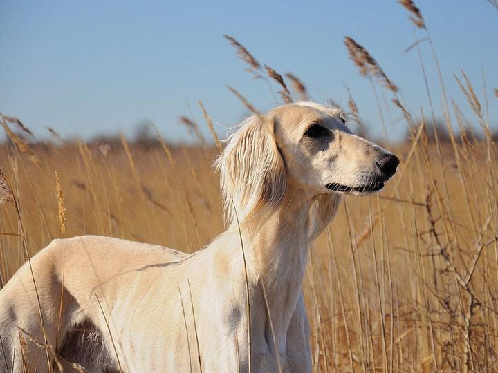собака породы перидская борзая