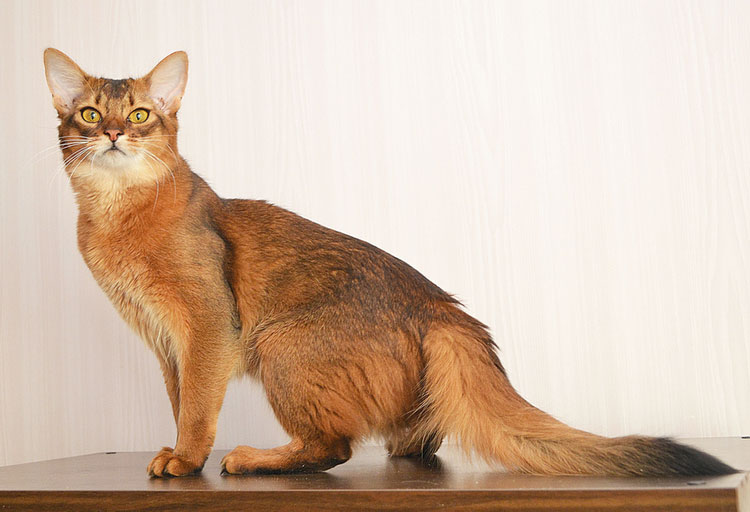 Кошка породы сомали