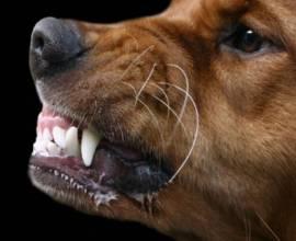 Повышенное слюноотделение у собаки