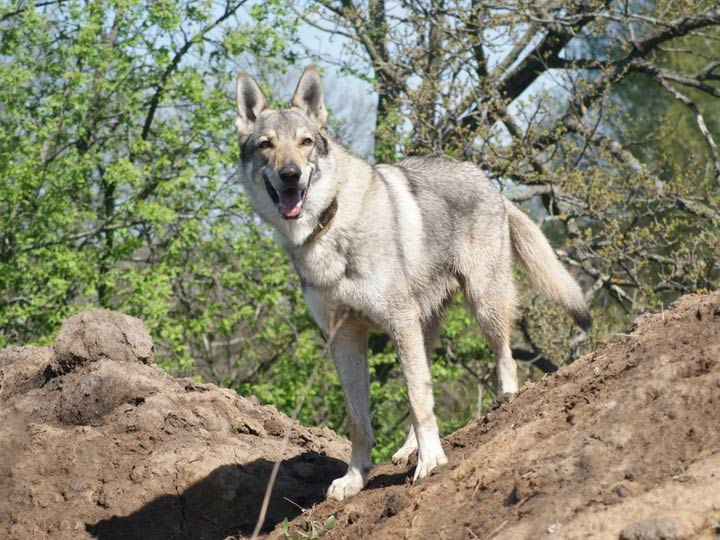 стандарт чехословацкий влчак